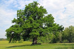 oak-354641_640